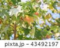 色づく 葉 モミジバフウの写真 43492197