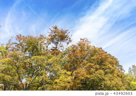 秋空と公園の紅葉 43492603