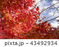 葉 もみじ 紅葉の写真 43492934