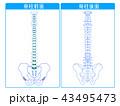 脊柱 背骨 骨のイラスト 43495473