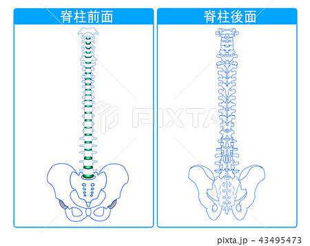 脊柱前面と脊柱後面 43495473