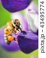 ハチ ミツバチ 虫の写真 43495774