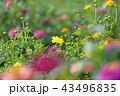 百日草 花 黄色の写真 43496835
