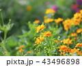 花 マリーゴールド オレンジ色の写真 43496898