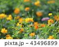 花 花畑 マリーゴールドの写真 43496899