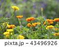 花 花畑 マリーゴールドの写真 43496926
