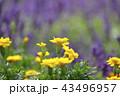 花 花畑 黄色の写真 43496957