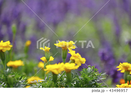 黄色いマリーゴールドの花 ラベンダーの背景 43496957