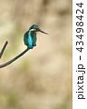 カワセミ 翡翠 小鳥の写真 43498424