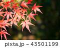 モミジ 楓 紅葉の写真 43501199