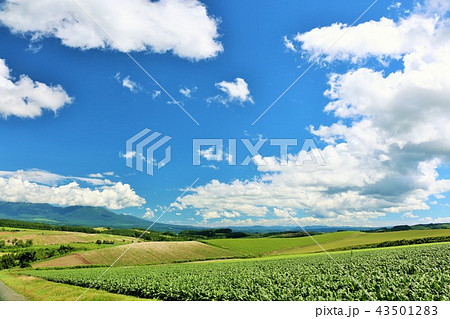 北海道 青空と美瑛の大地 43501283