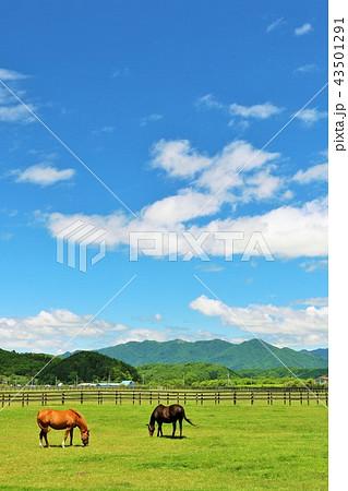 北海道 青空とサラブレッド 43501291