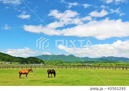 北海道 青空とサラブレッド 43501293