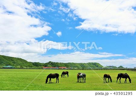 北海道 青空とサラブレッドたち 43501295