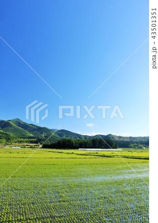 北海道 夏の青空と広大な水田地帯 43501351