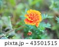 花 マリーゴールド 黄色の写真 43501515
