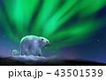 北極 くま クマのイラスト 43501539