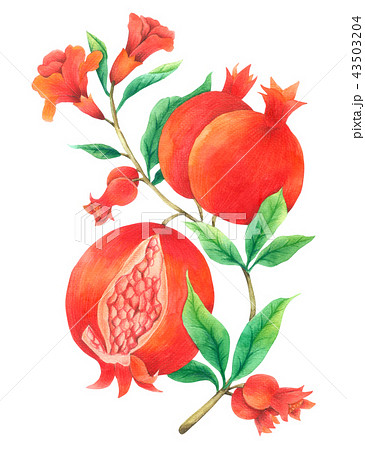 Pomegranate Vine watercolor isolated on white  43503204
