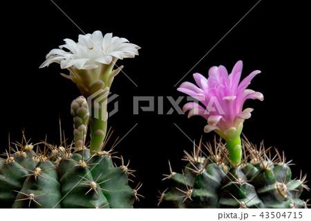 Cactus Flowers Gymnocalycium Blooming 43504715