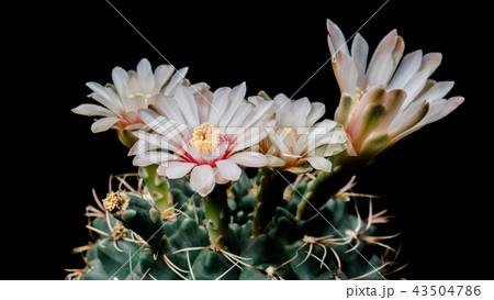 Cactus Flowers Gymnocalycium Baldianum 43504786