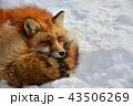 雪上の狐2 43506269