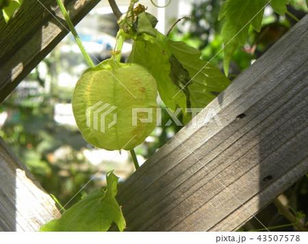 ホウズキのような緑色の実はフウセンカズラの未熟な実 43507578