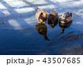 추운겨울 목마른 오리가족 43507685