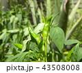 実 緑色 野菜の写真 43508008