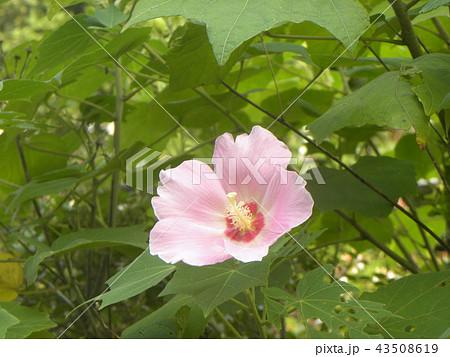 夏の花アメリカフヨウの桃色の花 43508619