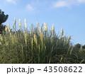 青空に白い雲そしてパンパスグラスの白い花 43508622