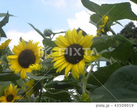 夏の黄色い大きい花ヒマワリ 43509019
