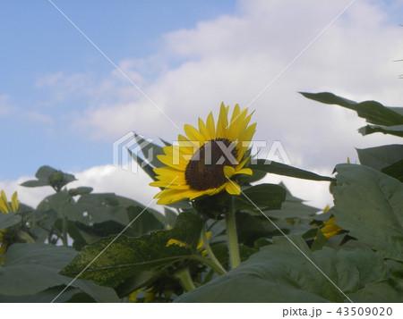 夏の黄色い大きい花ヒマワリ 43509020