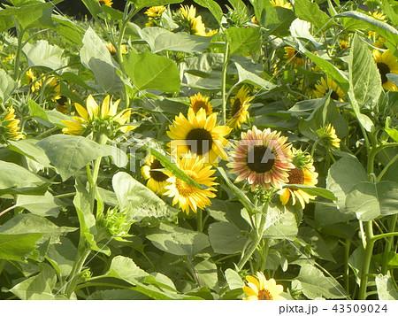 夏の黄色とオレンジ色の大きい花ヒマワリ 43509024