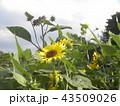 夏の黄色の大きい花ヒマワリ 43509026