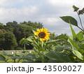 夏の黄色の大きい花ヒマワリ 43509027