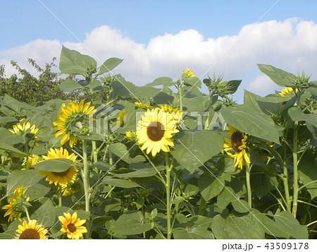 夏の黄色の大きい花ヒマワリ 43509178