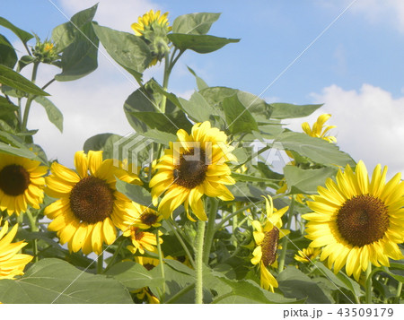 夏の黄色の大きい花ヒマワリ 43509179
