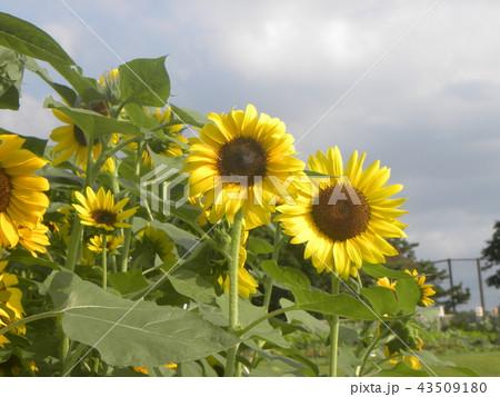 夏の黄色の大きい花ヒマワリ 43509180
