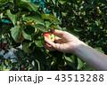 りんご アップル リンゴの写真 43513288