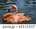 フラミンゴ ベニイロフラミンゴ 鳥類の写真 43515507