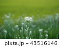 韮 花 白の写真 43516146