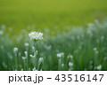 韮 花 白の写真 43516147
