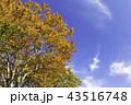 紅葉 秋 植物の写真 43516748