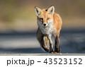 アカギツネ キツネ 動物の写真 43523152