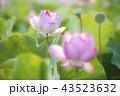 臼杵石仏公園のハス畑 43523632