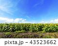 ひまわり ひまわり畑 満開の写真 43523662