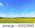 ひまわり ひまわり畑 満開の写真 43523665
