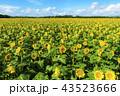 ひまわり ひまわり畑 花の写真 43523666