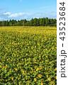 ひまわり ひまわり畑 花の写真 43523684