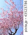 シダレザクラ 満開 桜の写真 43523786